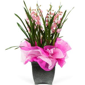 심비디움(핑크)1겨울상품