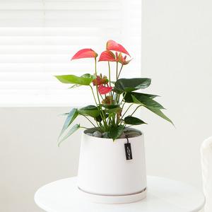 안시리움(꽃有)