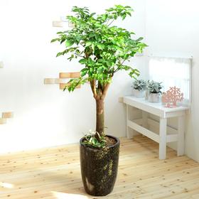 파릇파릇 행복나무(해피트리)